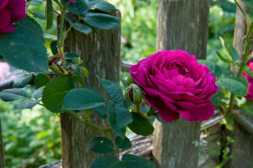 Rosa 'Gipsy Boy' 2011, Photograph: Fred Kroh